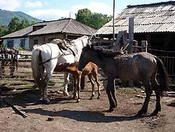 Горный Алтай : Велопоход «Два Алтая» : Лошадиное семейство в Майорке